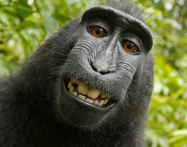 Can An Animal Hold a Selfie Copyright?!