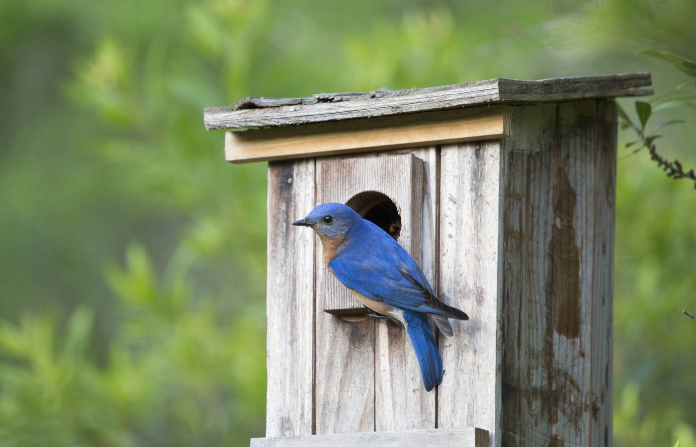 Wild About Bluebirds!
