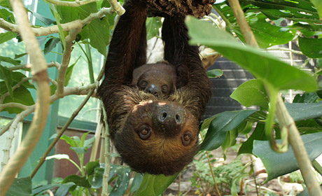 New Sloths at Nashville Zoo