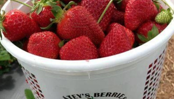 Batey Farms' You-Pick Strawberries On Hold