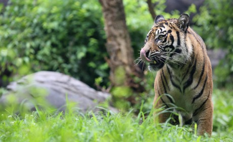 MOM REPORT: Nashville Zoo Roars with Tigers