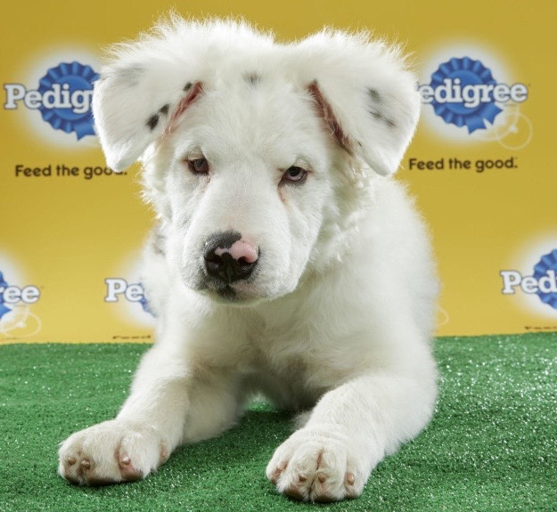 Puppy Bowl on Super Bowl Sunday to Feature Special-Needs Pups - Meet the Roster!