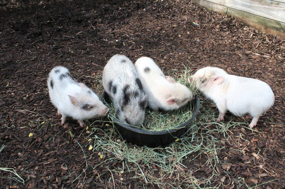 Nashville Zoo Welcomes Pigs